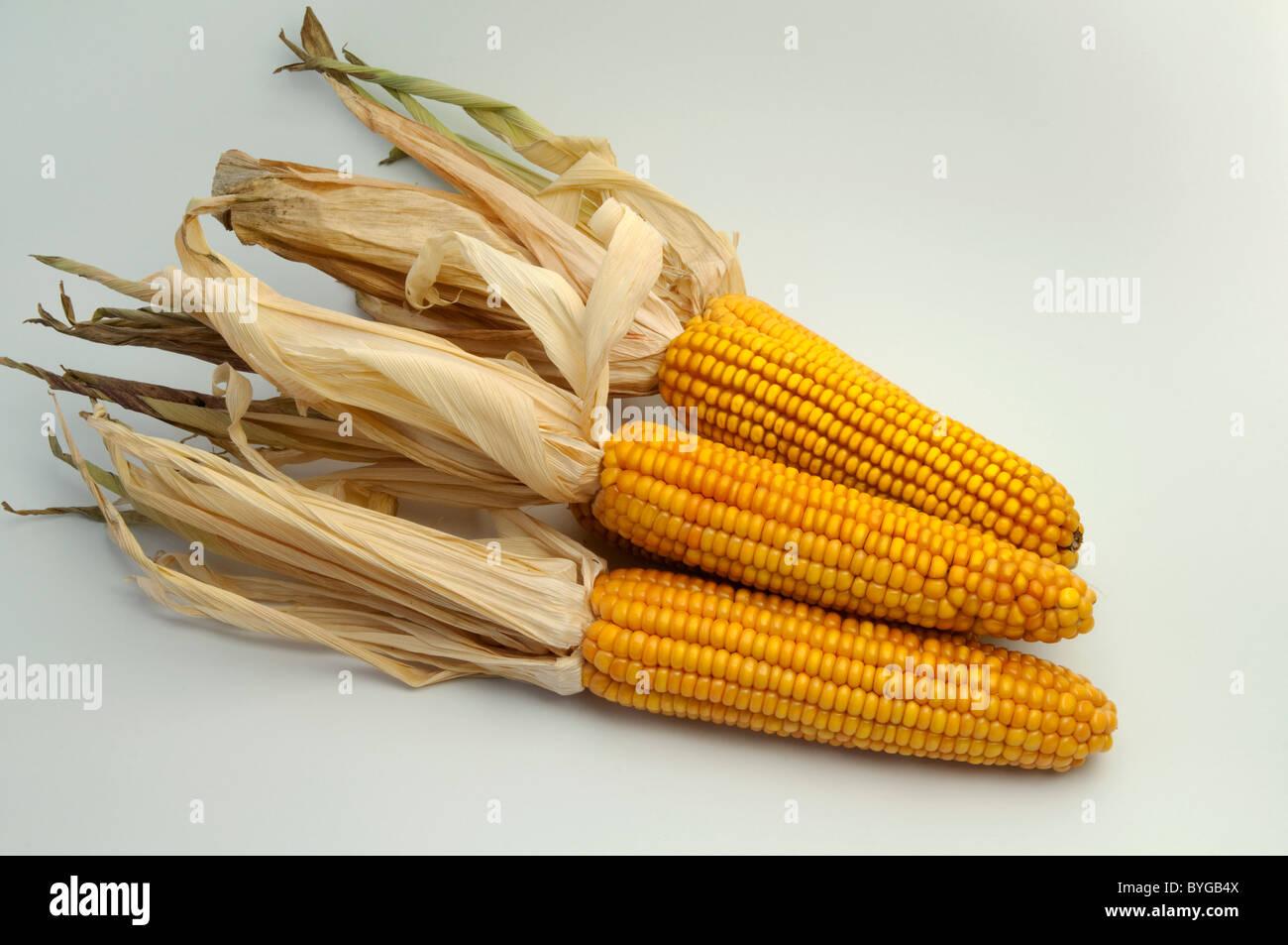 Le maïs, le maïs (Zea mays). Les épis mûrs. Studio photo sur un fond blanc. Photo Stock