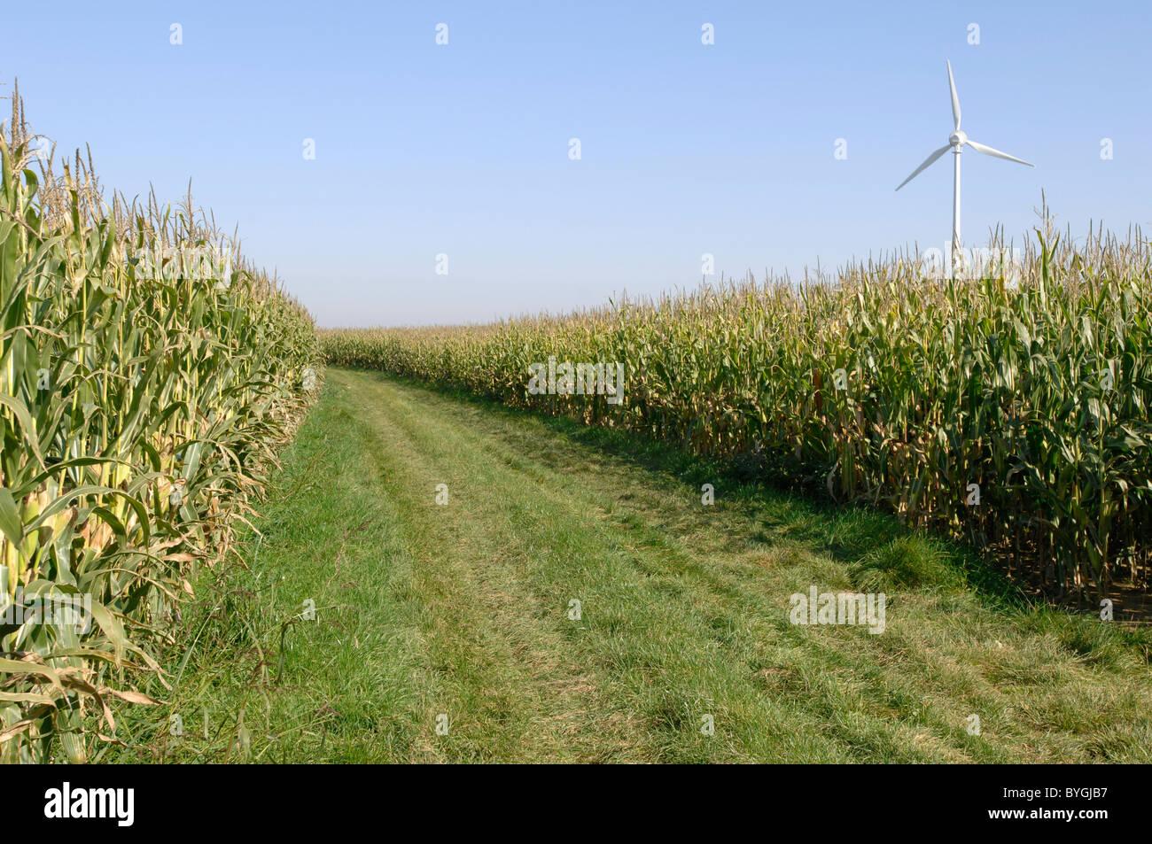 Le maïs, le maïs (Zea mays). Domaine de l'éolienne avec en arrière-plan. Photo Stock