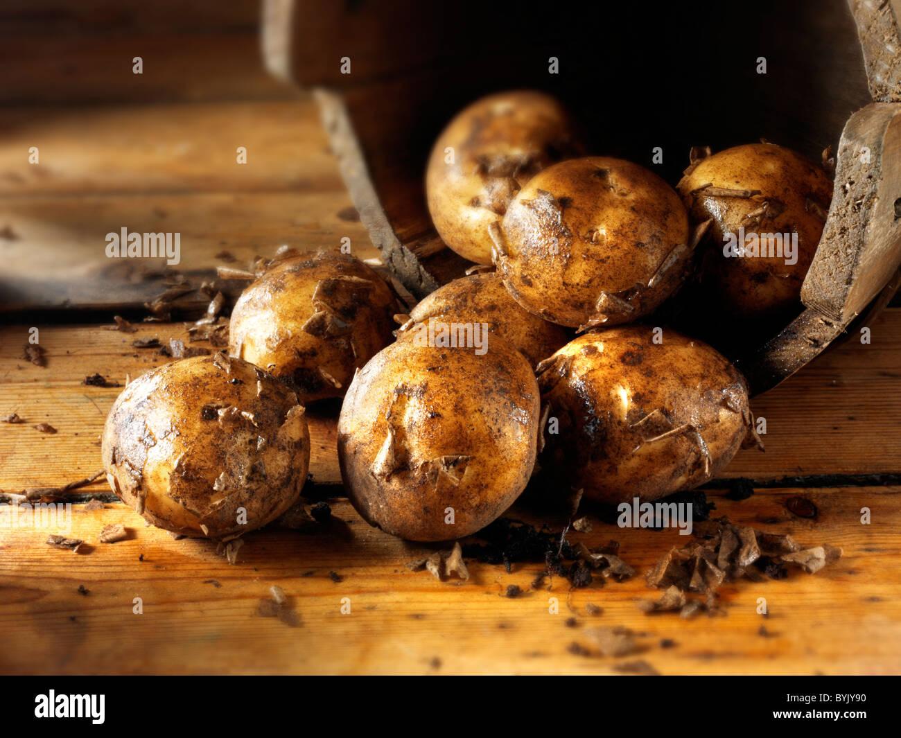 Creusé de pommes de terre nouvelles fraîches Photo Stock