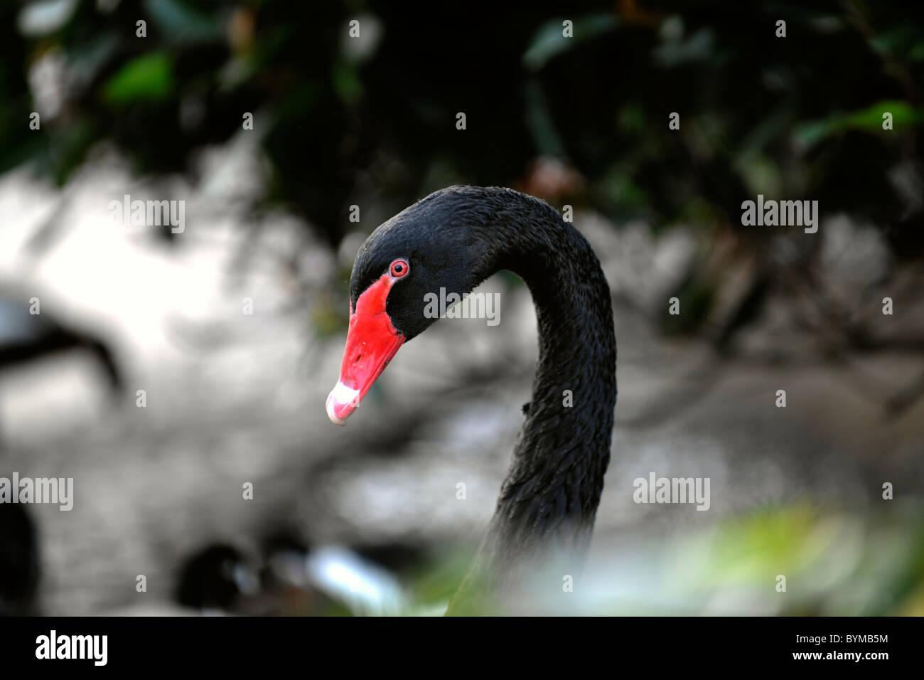 Portrait d'un cygne noir dans un environnement de feuillage. Photo Stock