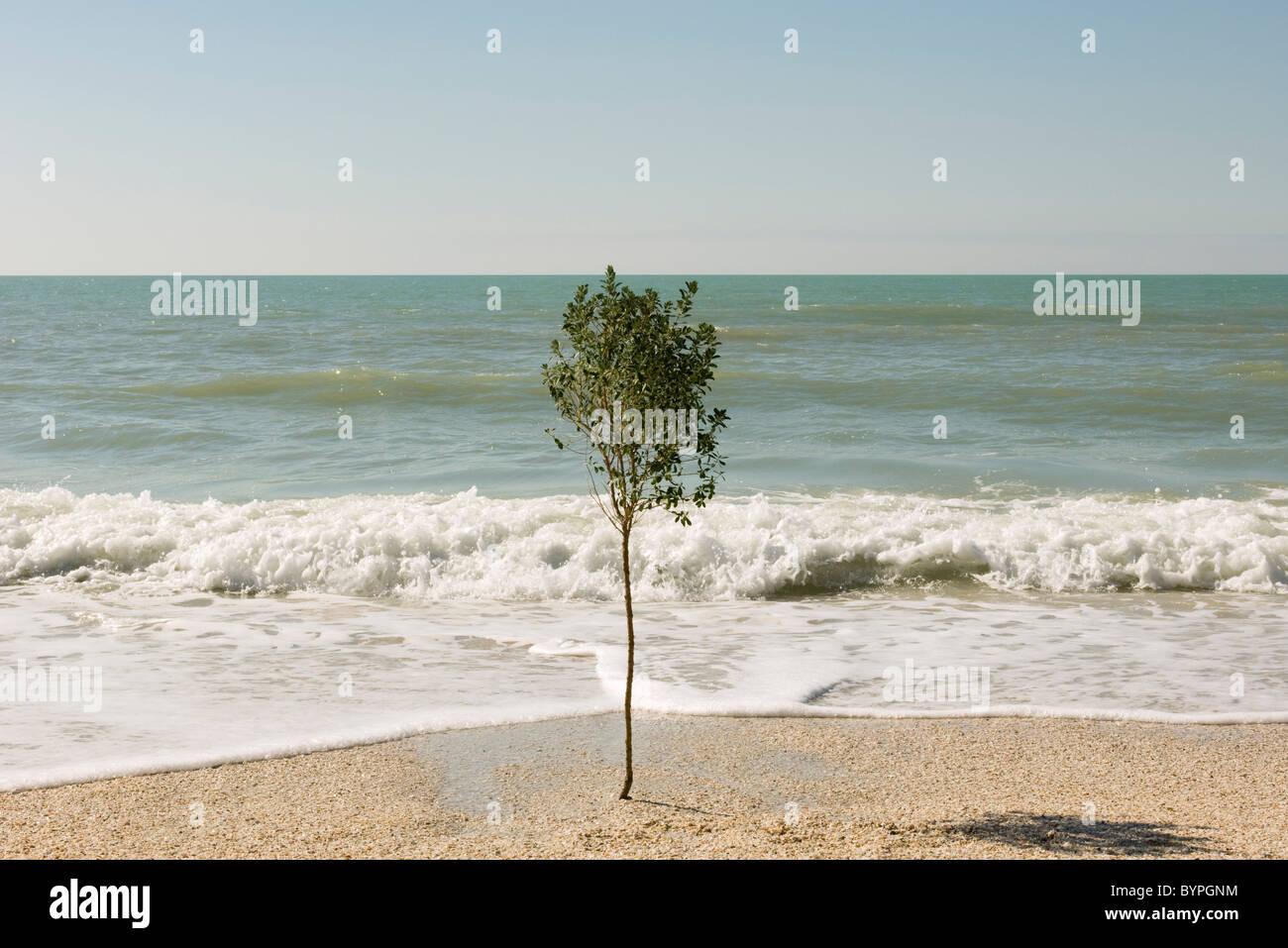 Arbre solitaire croissant sur plage près de bord de l'eau Photo Stock