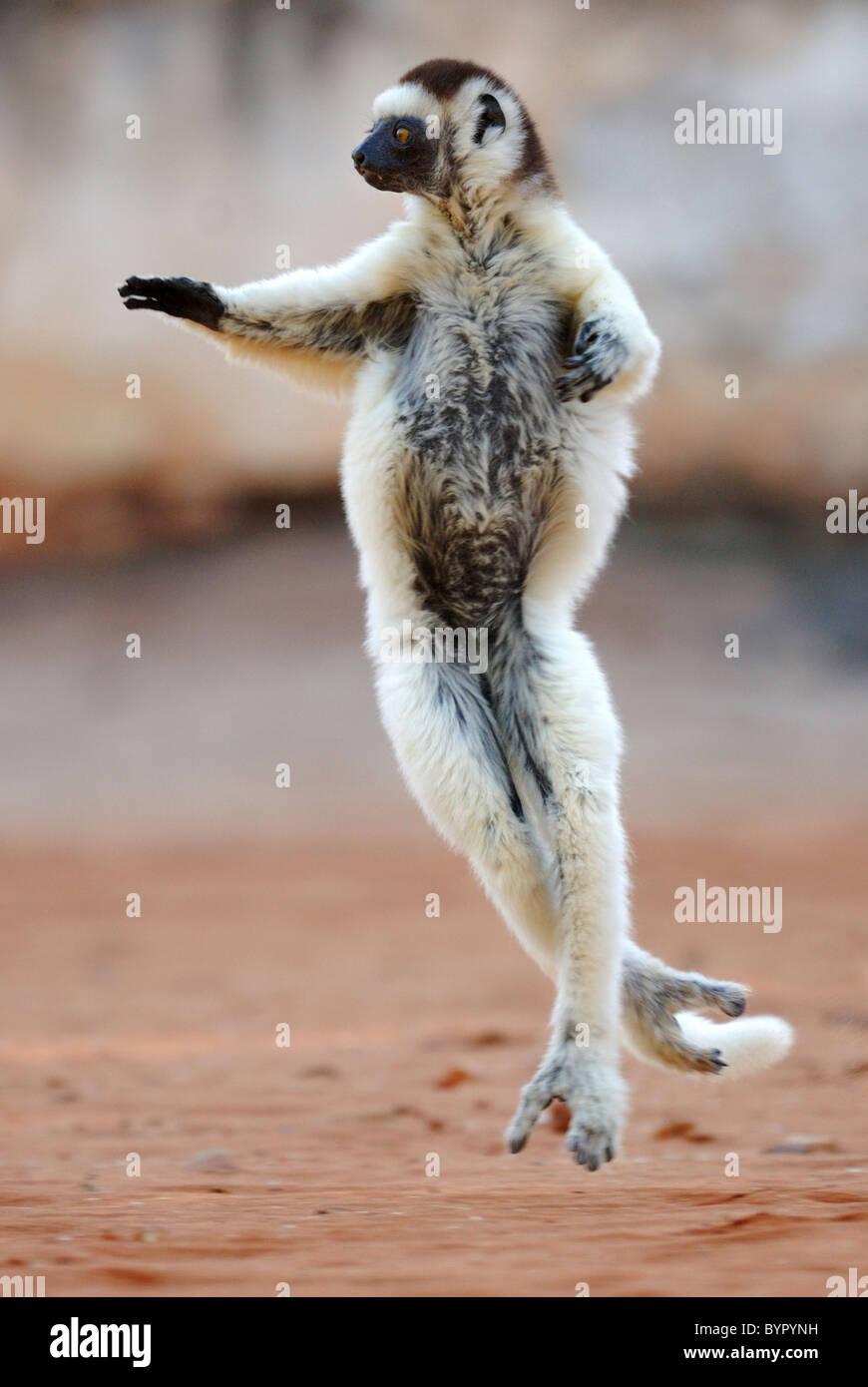 Le Propithèque de verreaux (Propithecus verreauxi) Danse de Madagascar Photo Stock