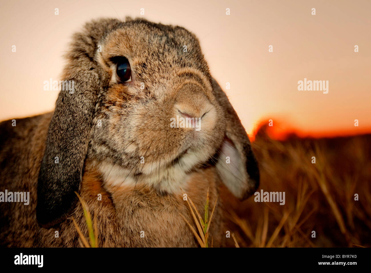 Close-up of rabbit au coucher du soleil Photo Stock