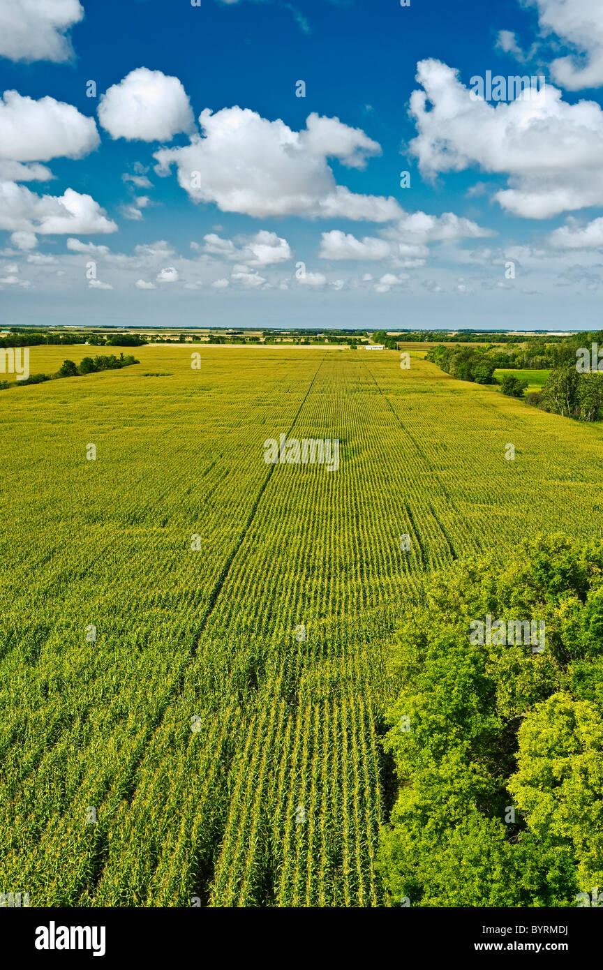 Agriculture - grand domaine de croissance moyenne du maïs-grain à l'étape de la panicule de nuages Photo Stock