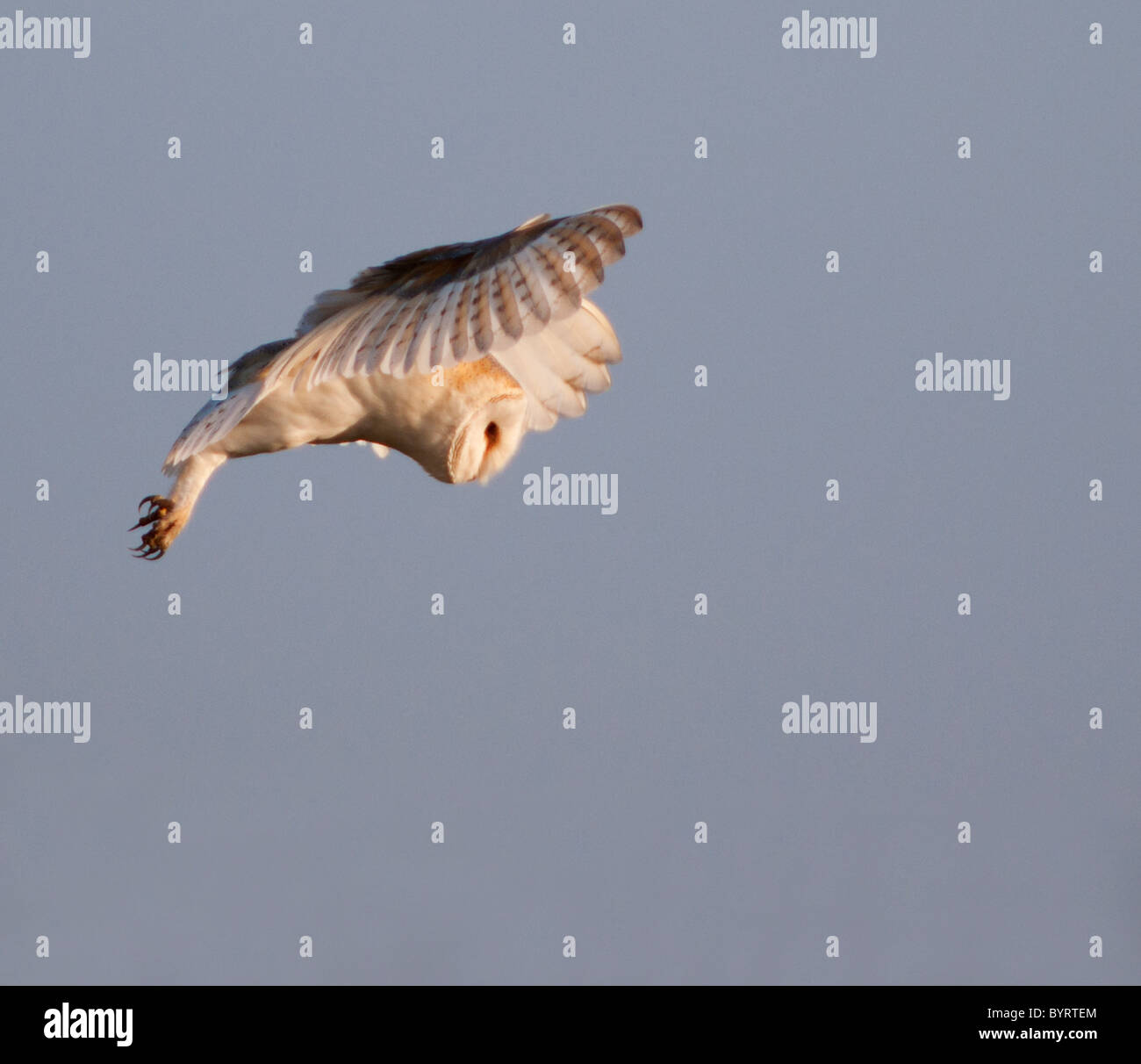 Wild Barn Owl planant à la proie, Norfolk Photo Stock