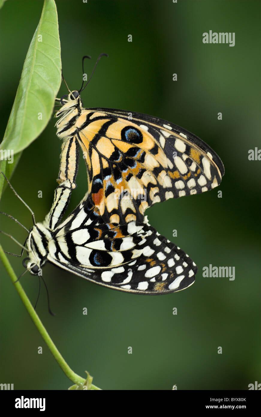 Papilio demoleus Lime Papillons Machaons Asie Photo Stock
