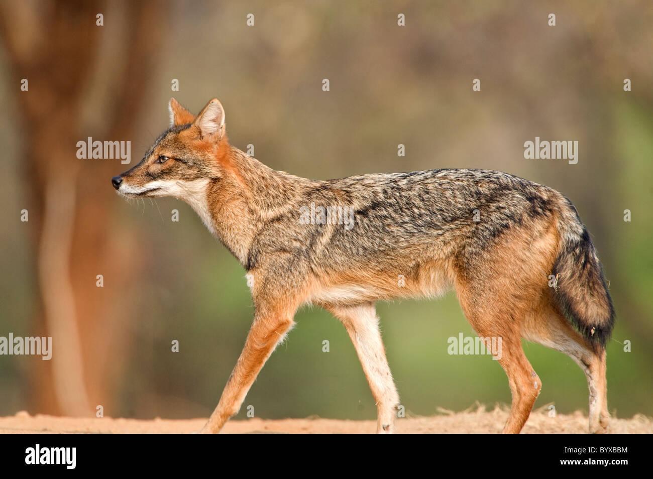 Le chacal doré Canis aureus Inde Banque D'Images