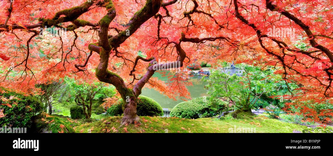 Japanese Maple Tree dans la couleur de l'automne. Les jardins japonais de Portland. Oregon Photo Stock