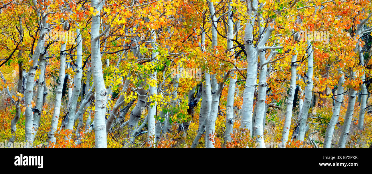 Close up de la couleur de l'automne et le tronc des arbres d'aspen. Inyo National forest. Californie Photo Stock