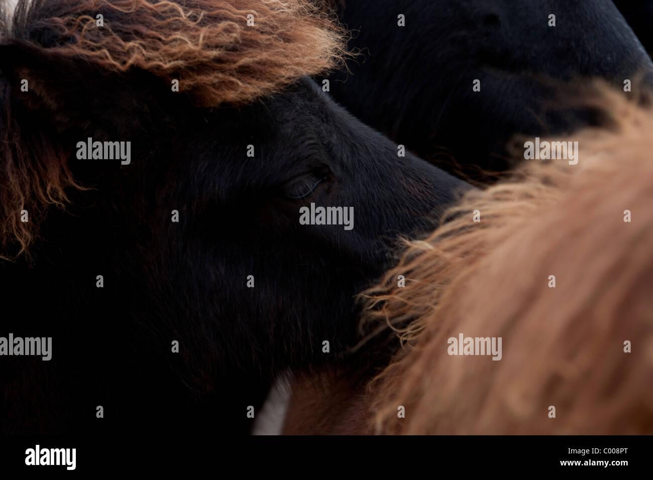 Sand Meadow Farms chevaux Islandais Photo Stock
