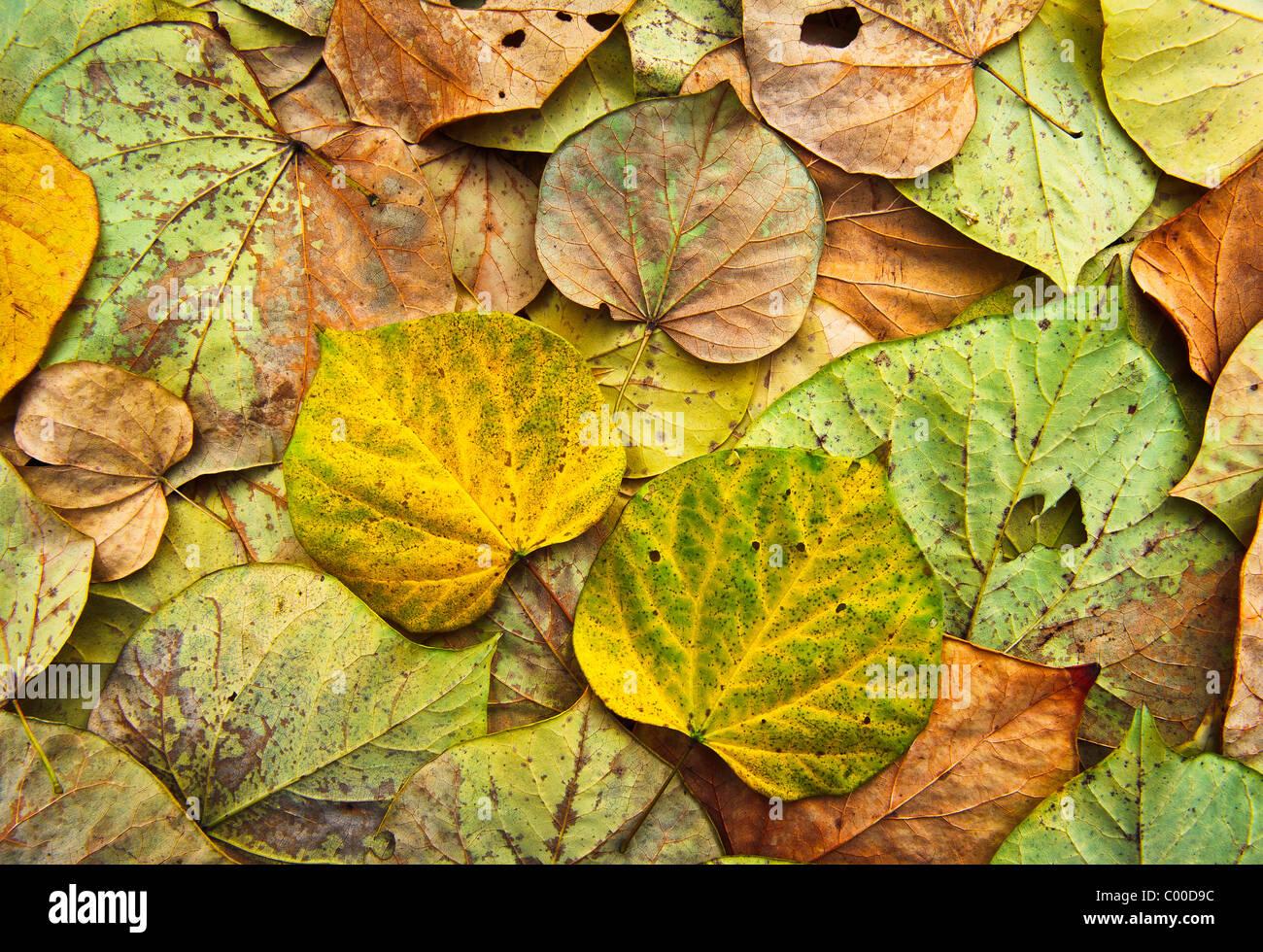 L'est dynamique, coloré de Red Bud les feuilles des arbres forment un motif complexe, montrant les différents états Banque D'Images