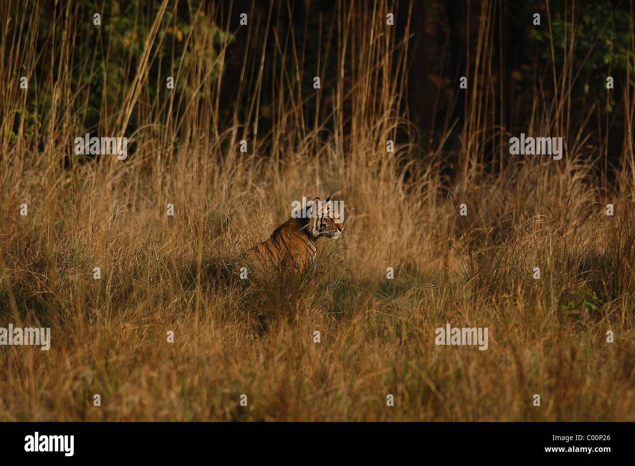 1-year-old male Bengal Tiger Cub à sur du milieu d'une mer d'herbe dans une prairie de la Réserve de tigres de Bandhavgarh, Banque D'Images