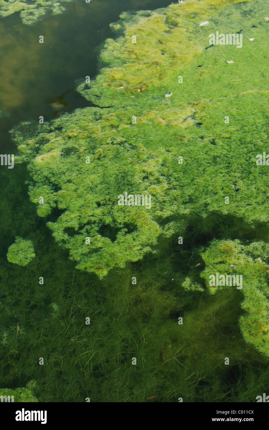 Arrière-plan de marais d'algues vertes Banque D'Images