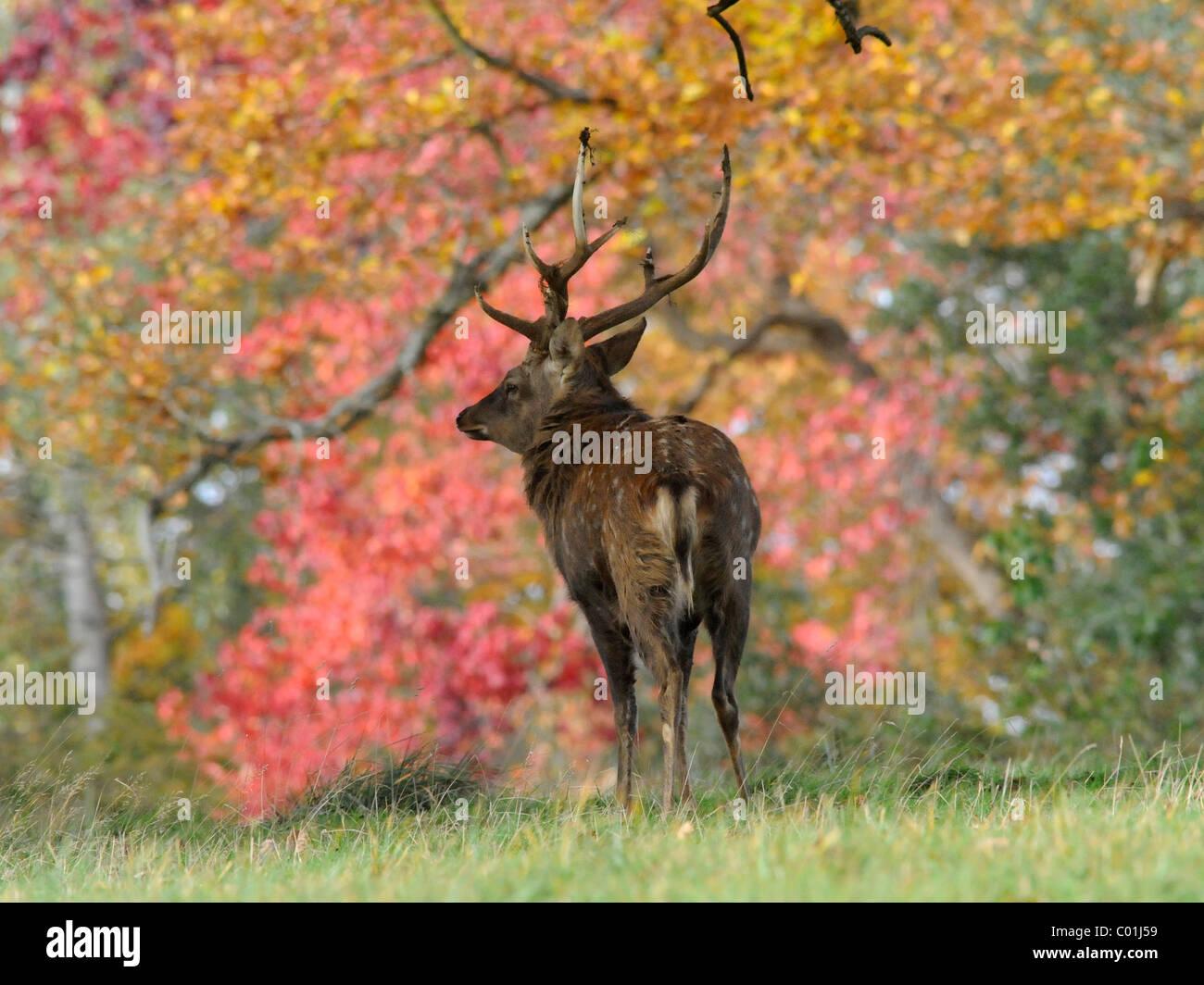 Un jeune cerf dans parmi feuillage de l'automne. Photo Stock