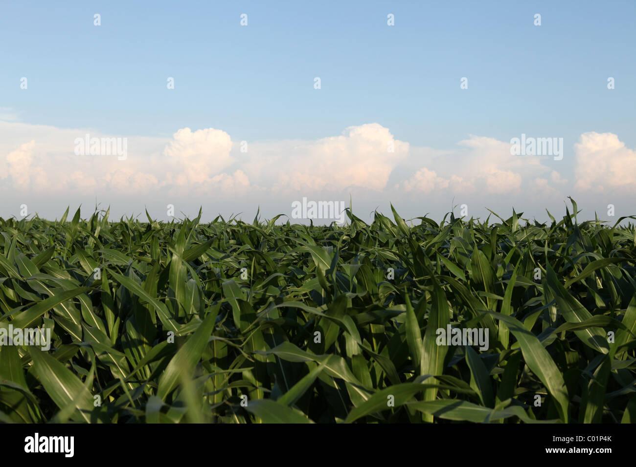 Dessus des tiges de maïs sur journée d'été en Iowa champ avec des nuages dans le ciel. Photo Stock