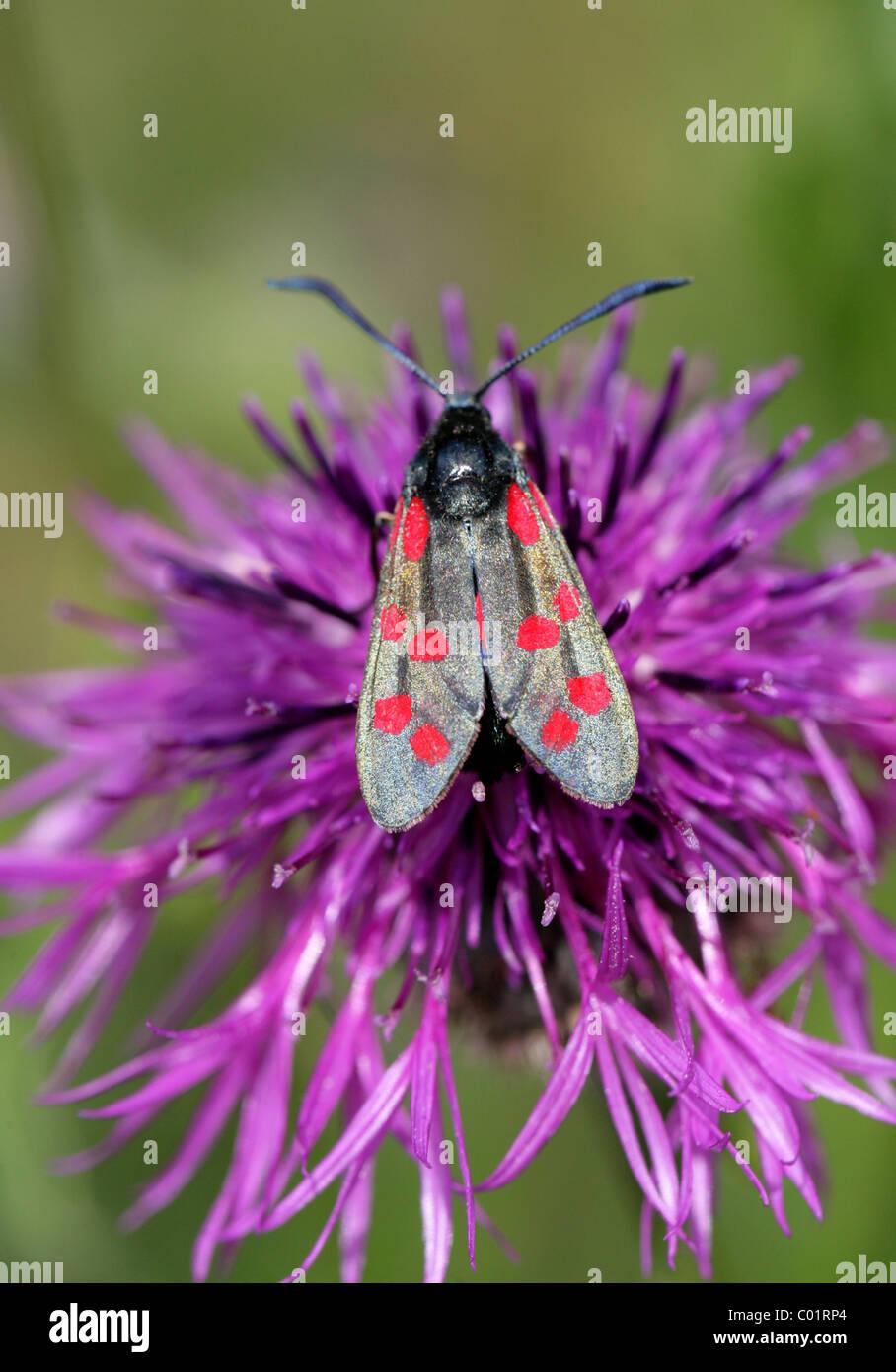 Spot 6, Zygaena filipendulae Burnett, des Zygaenidae, Lepidoptera, sur une plus grande fleur de centaurée. Banque D'Images