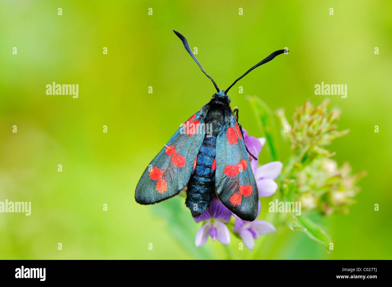 Zygaena purpuralis Burnett (transparent), assis sur une fleur Photo Stock