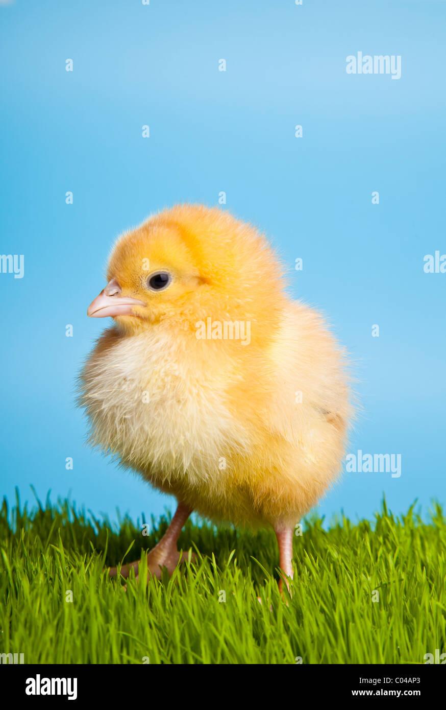 Les oeufs de Pâques et les poules sur l'herbe verte sur fond bleu Photo Stock