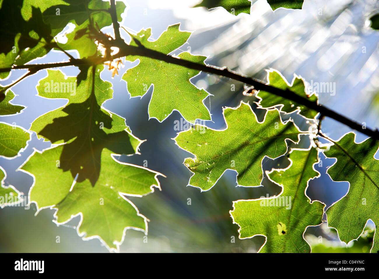Un retour des feuilles éclairées par le soleil Photo Stock