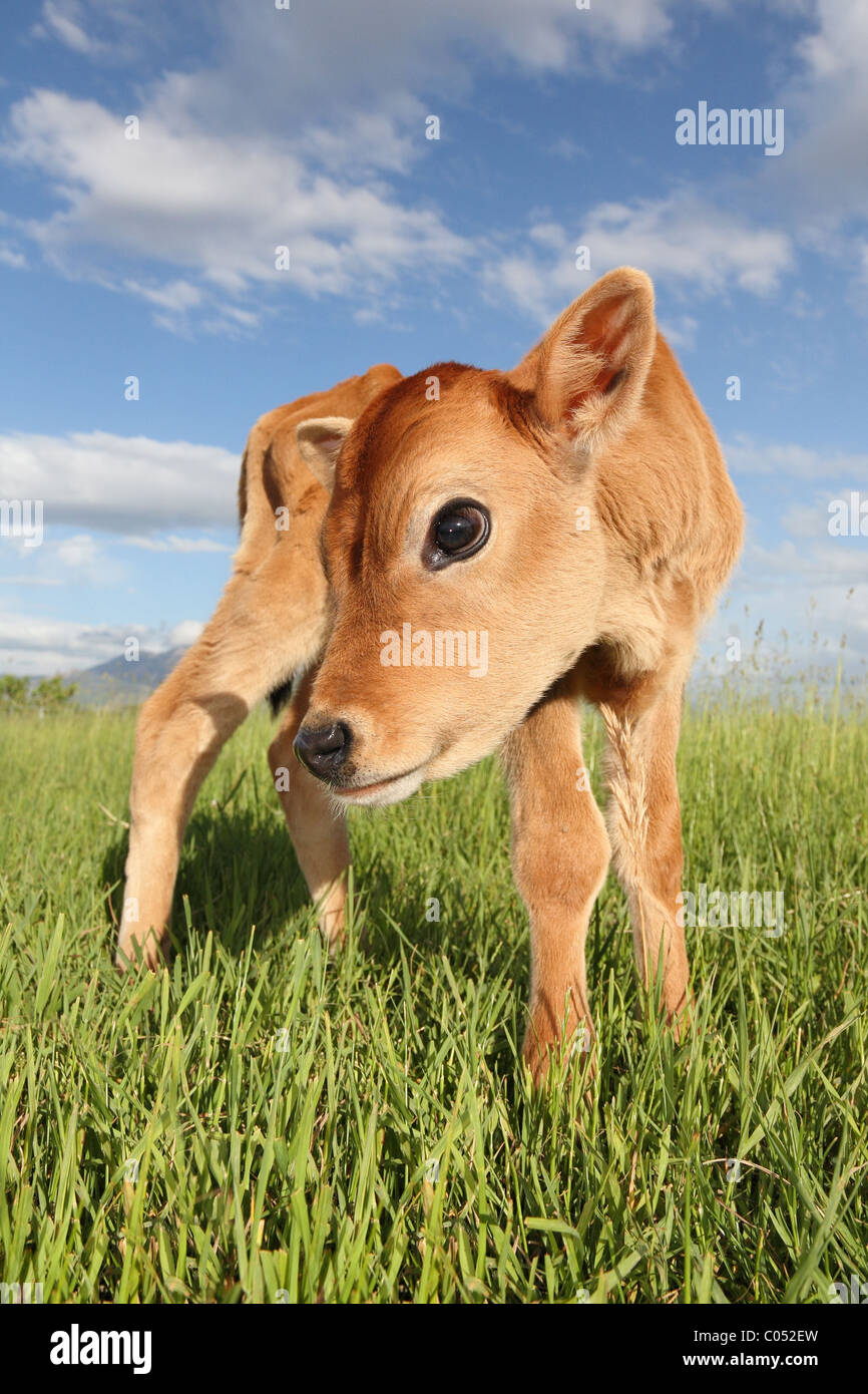 Cute baby calf dans un pré long Photo Stock