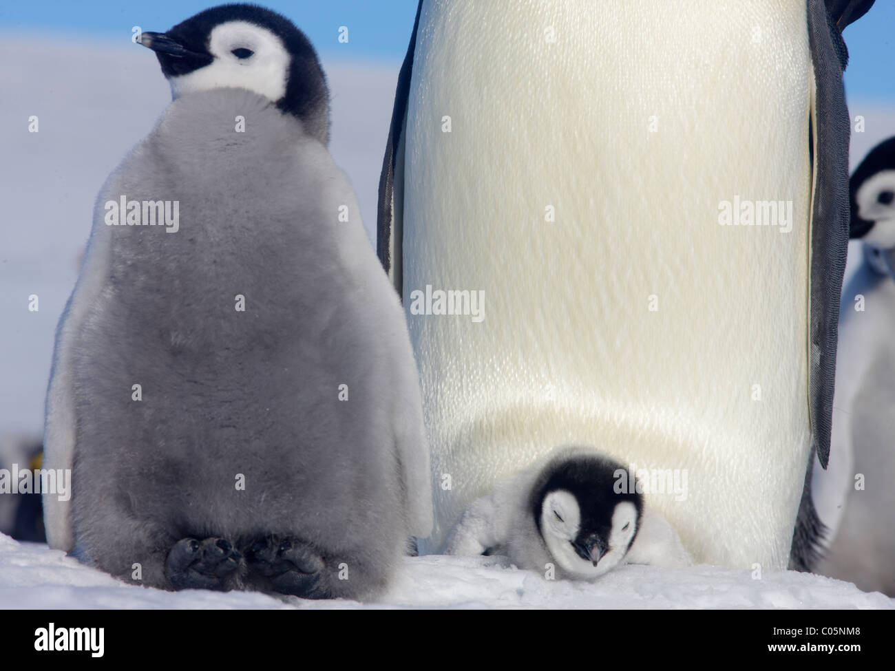 Manchots empereurs et les poussins, octobre, Snow Hill Island, mer de Weddell, l'Antarctique. Photo Stock