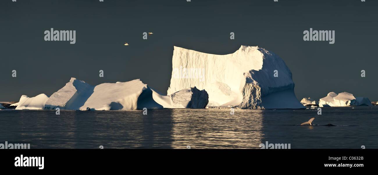Le varech goélands survolant icebergs au lever du soleil, avec des baleines à bosse, l'Antarctique, Photo Stock
