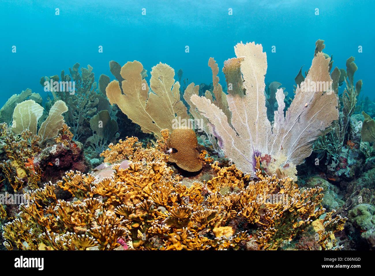 Coral reef, Venus Sea fans (Gorgonia flabellum), ramifiés (Millepora alcicornis corail de feu), jaune, Little Tobago, Speyside Banque D'Images