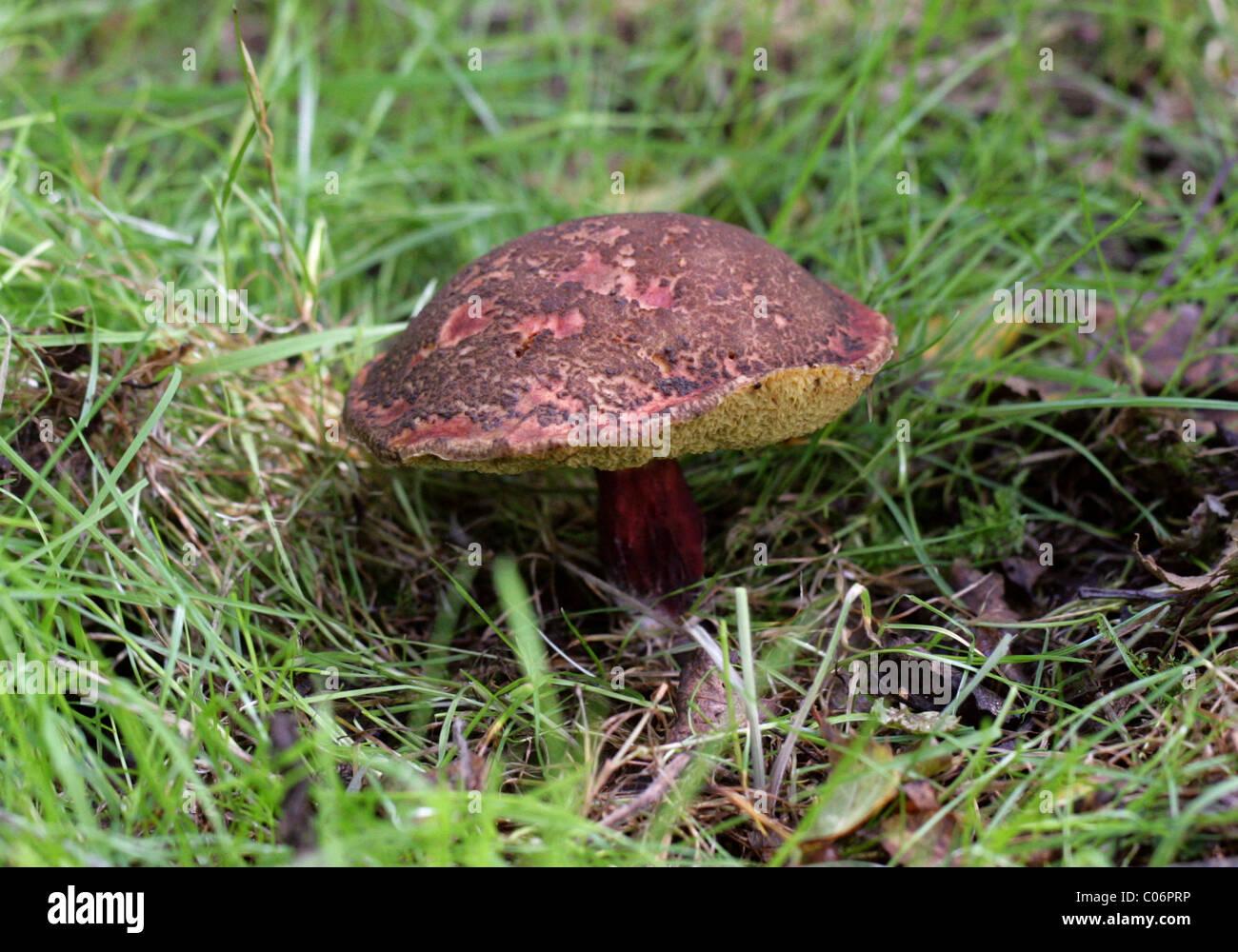 12.2005-rouge ou rouge Boletus Boletus chrysenteron Boetus, fissuration (Syn. Xerocomus chrysenteron), Boletaceae Photo Stock