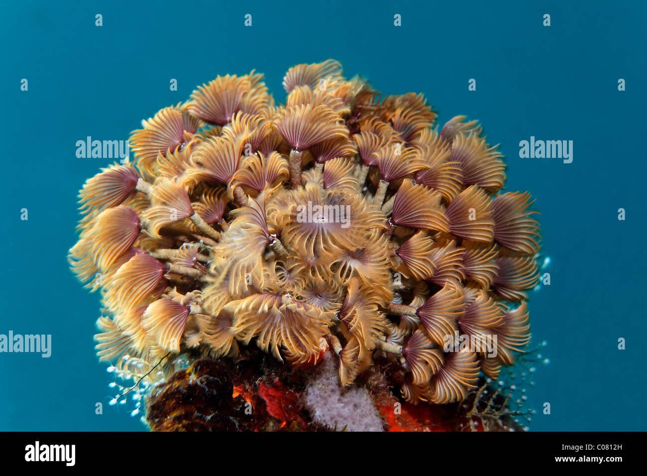 Plumeau sociale (Bispira brunnea) dans l'eau bleue, Sainte Lucie, Sainte Lucie, l'île des Petites Antilles, Photo Stock