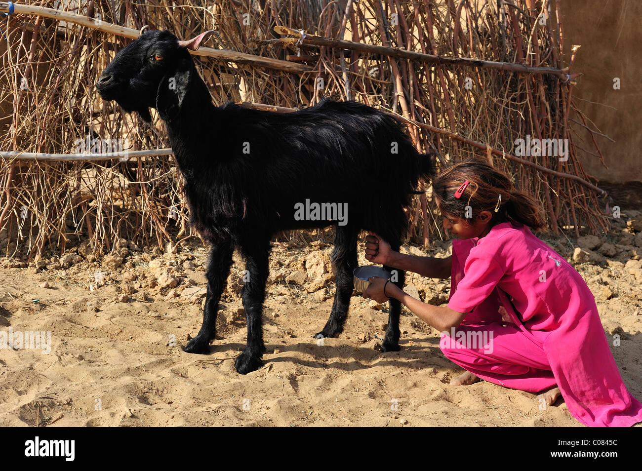 Petite fille de chèvre à traire, désert de Thar, Rajasthan, Inde, Asie d2beb06dc529