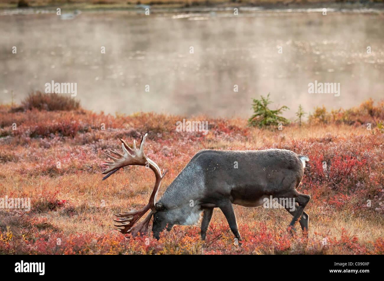 Caribou mâle parcourt au milieu de la toundra d'automne sur le côté nord de Wonder Lake dans le Parc National Denali et préserver, de l'Alaska Banque D'Images