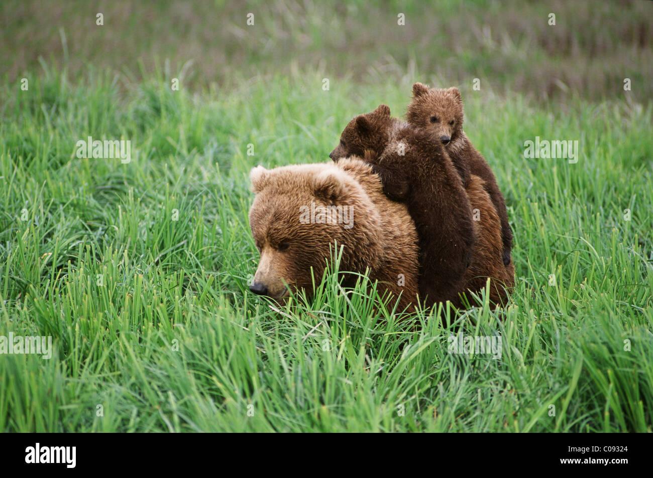 Deux oursons brun monter sur leurs dos de la mère par carex près de la rivière McNeil dans McNeil Photo Stock