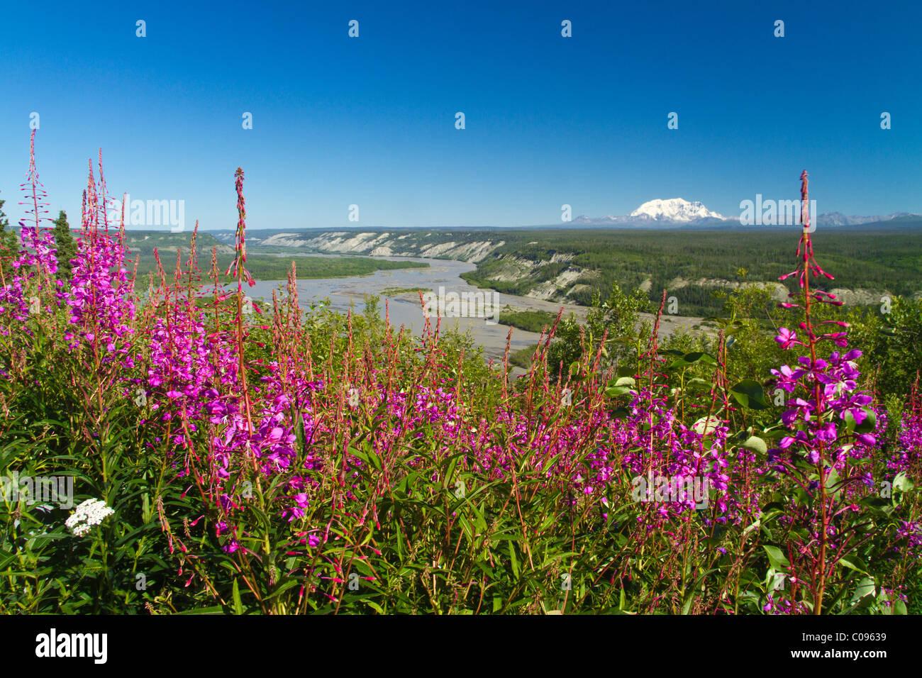 Mt. Wrangell et la rivière Copper avec au premier plan, de l'Épilobe Wrangell-St. Elias National Park Photo Stock