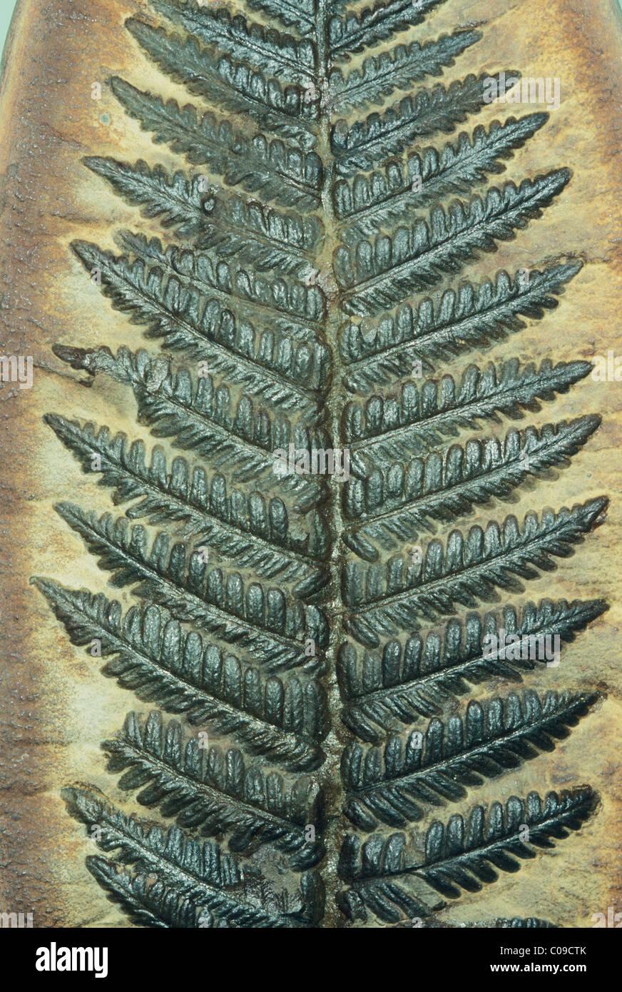 Fougère fossile, (Pecoptens Carbonifère sp.) Photo Stock