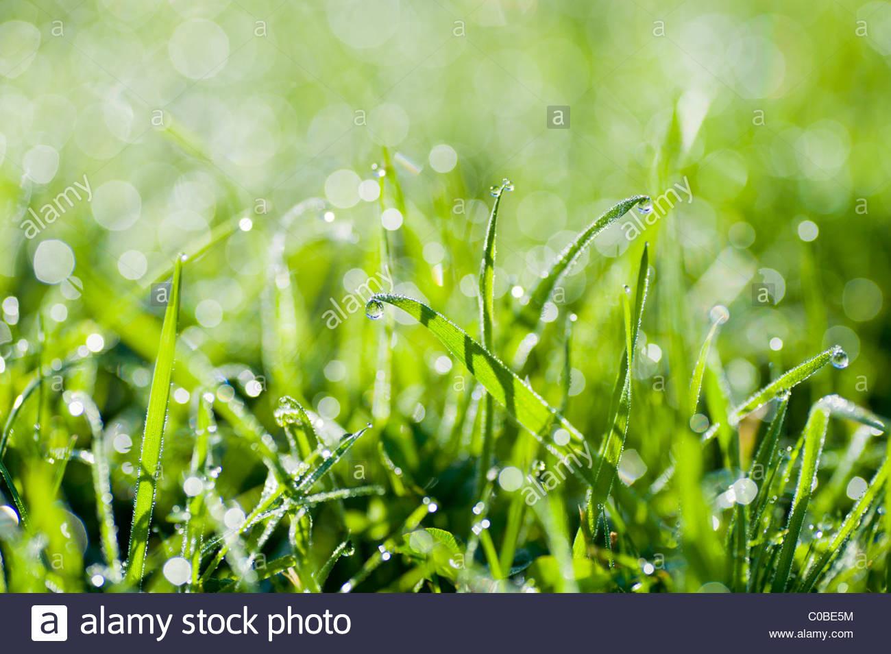 Close up de gouttes de rosée sur l'herbe. Photo Stock