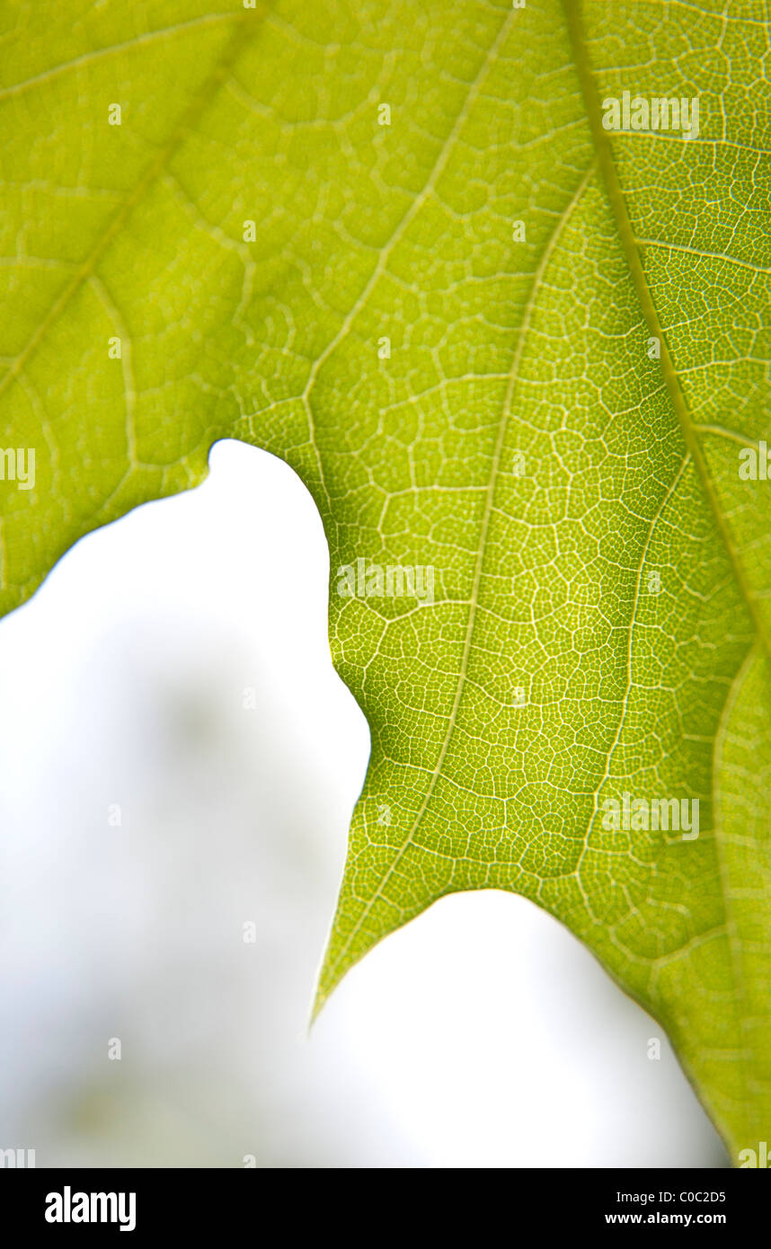 Détail de la feuille d'érable Photo Stock
