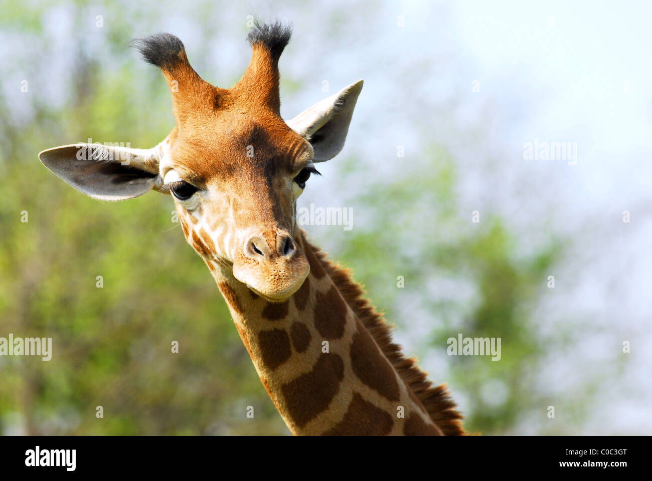 Portrait du jeune visage girafe (camelopardalis) Photo Stock