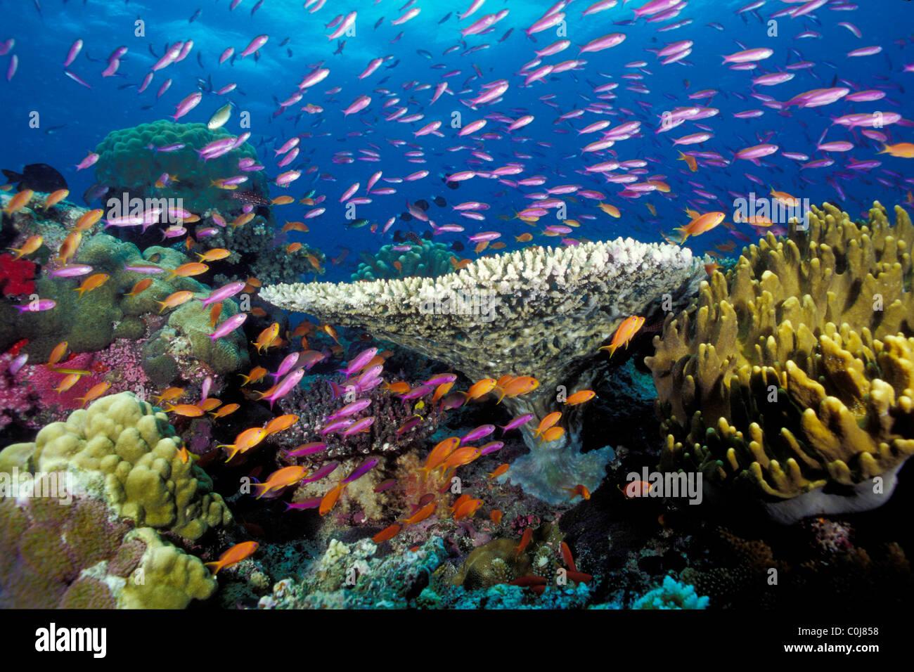 Les récifs coralliens tropicaux, de Fidji, de l'Océan Pacifique Photo Stock