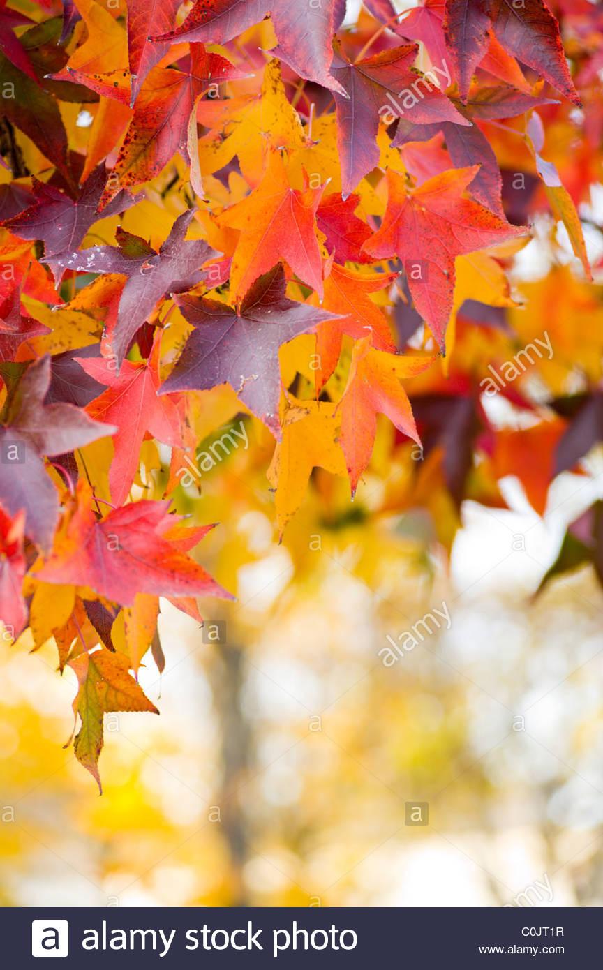 Les feuilles des arbres en automne. Photo Stock