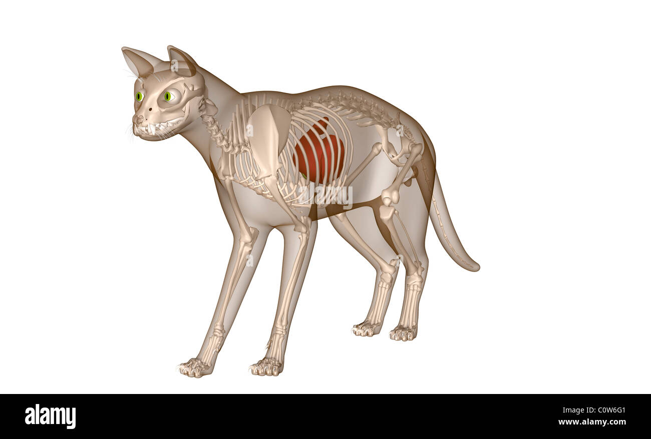 Anatomie Du Squelette Du Foie De Chat Banque Dimages Photo Stock