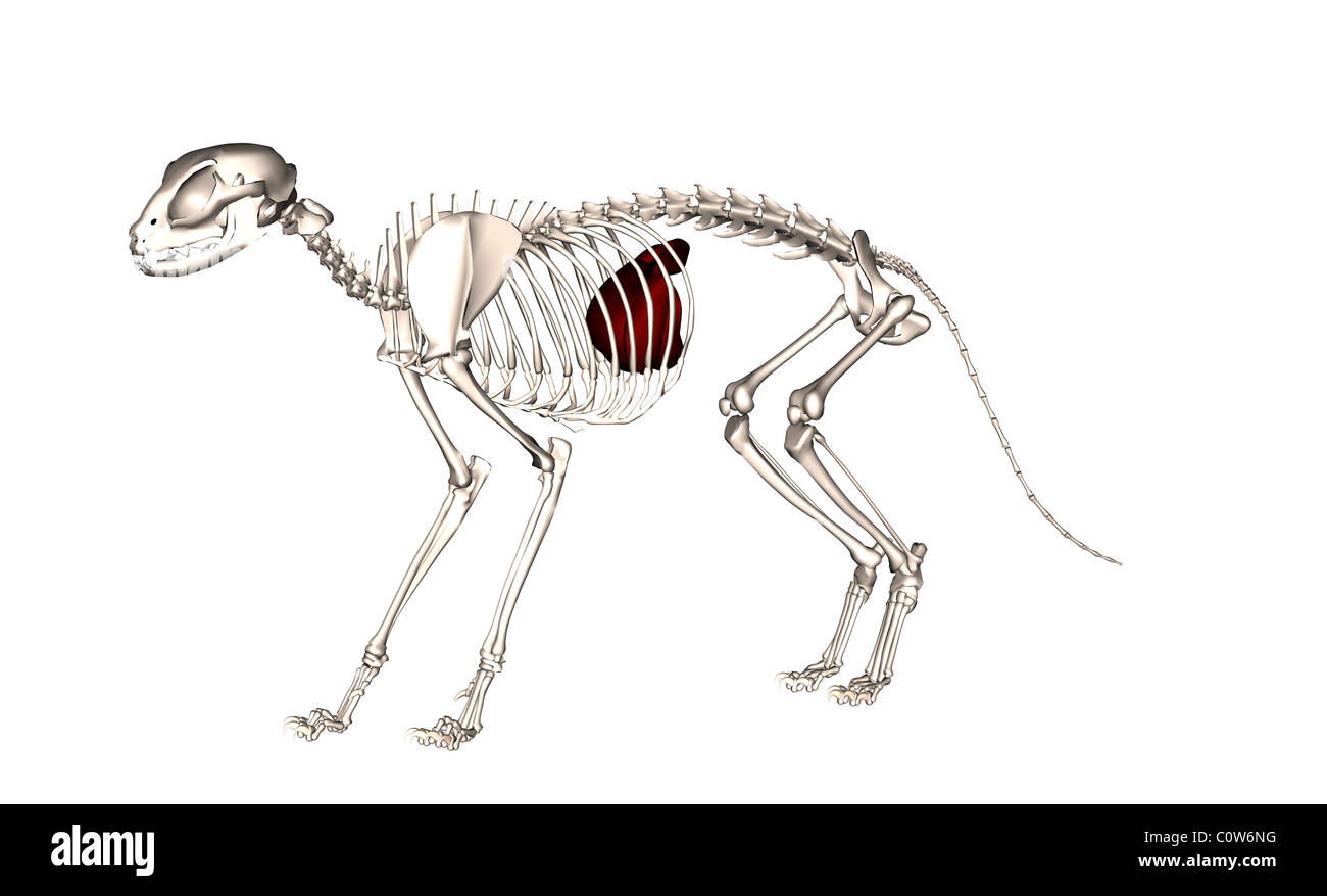 Anatomie du foie de chat Banque D\'Images, Photo Stock: 34974844 - Alamy