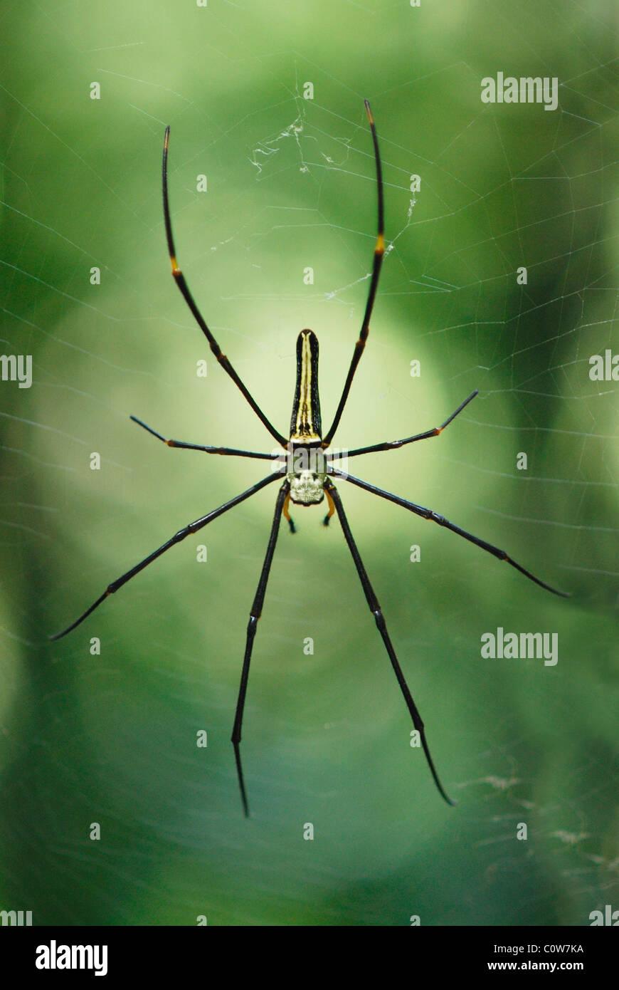 Globe Doré géant Weaver Spider sur son site dans la forêt de Sinharaja,, Sri Lanka Photo Stock