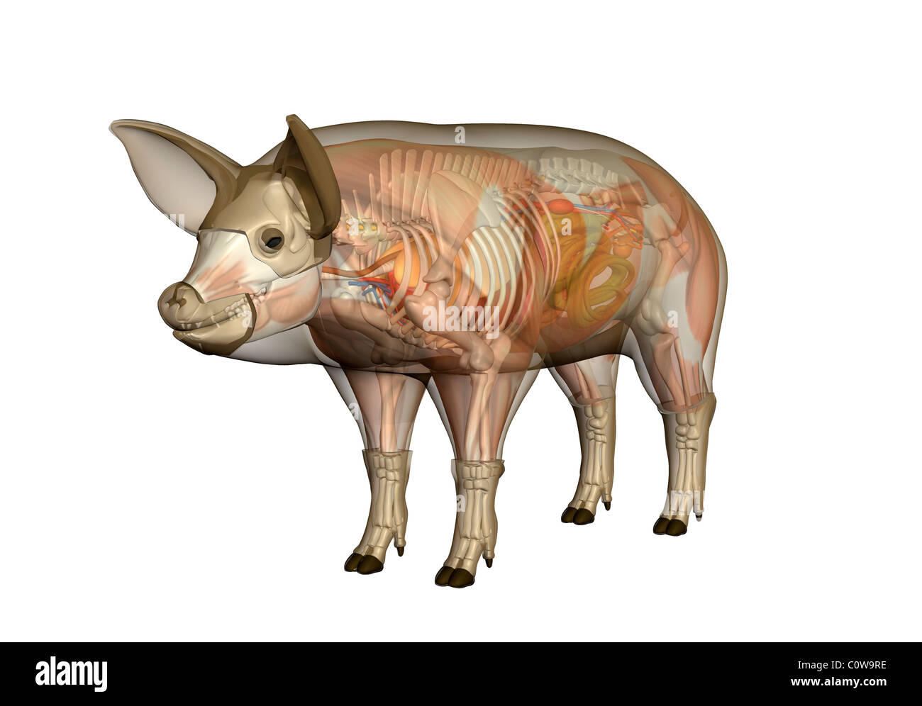 anus in digestion of pig