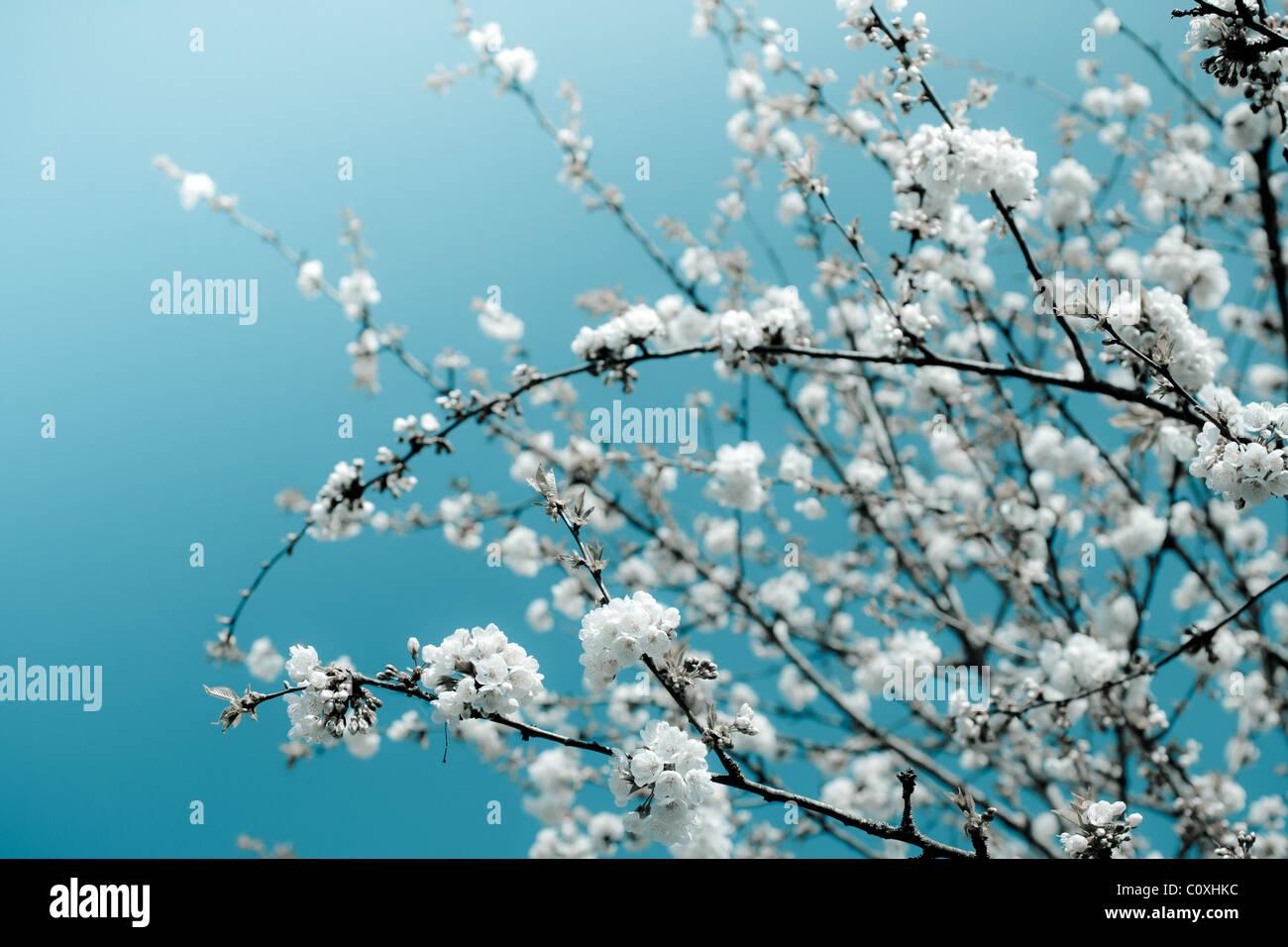 Bouquets de fleurs de cerisier blanc contre un ciel bleu vif. Arrière-plan de la nature. Photo Stock