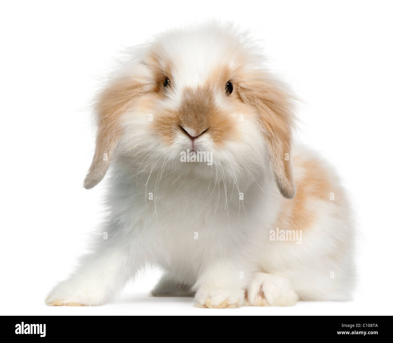 Lapin bélier, 10 years old, in front of white background Photo Stock