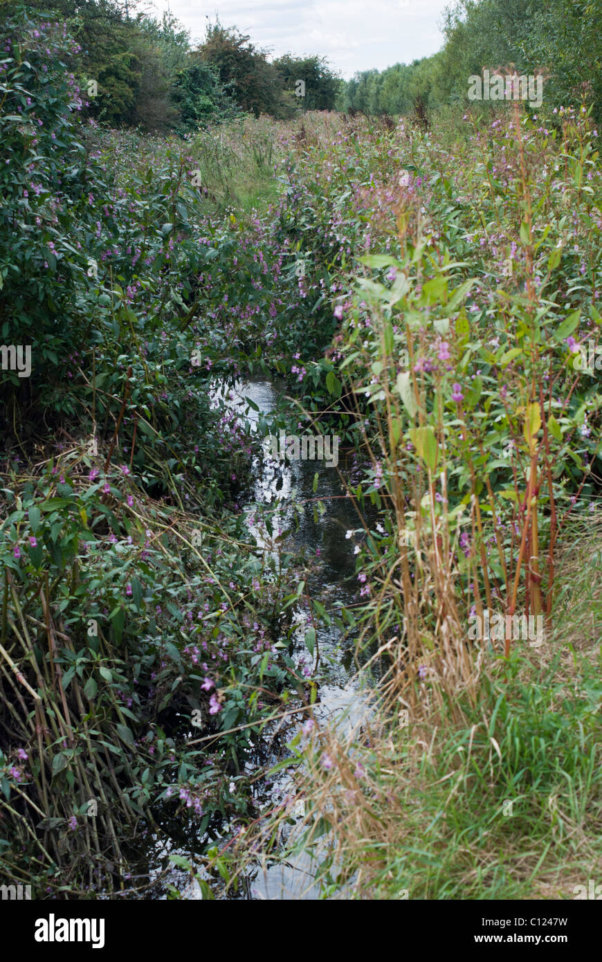 Balsamine de l'himalaya Impatiens glandulifera Banque D'Images