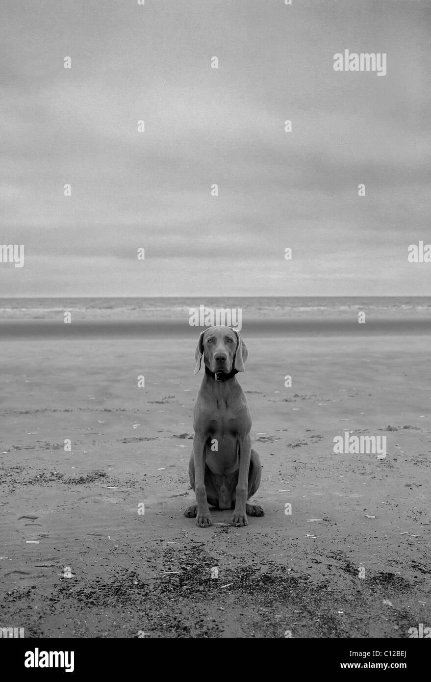 Chien sur la plage. Braque de Weimar. B+W Photo Stock