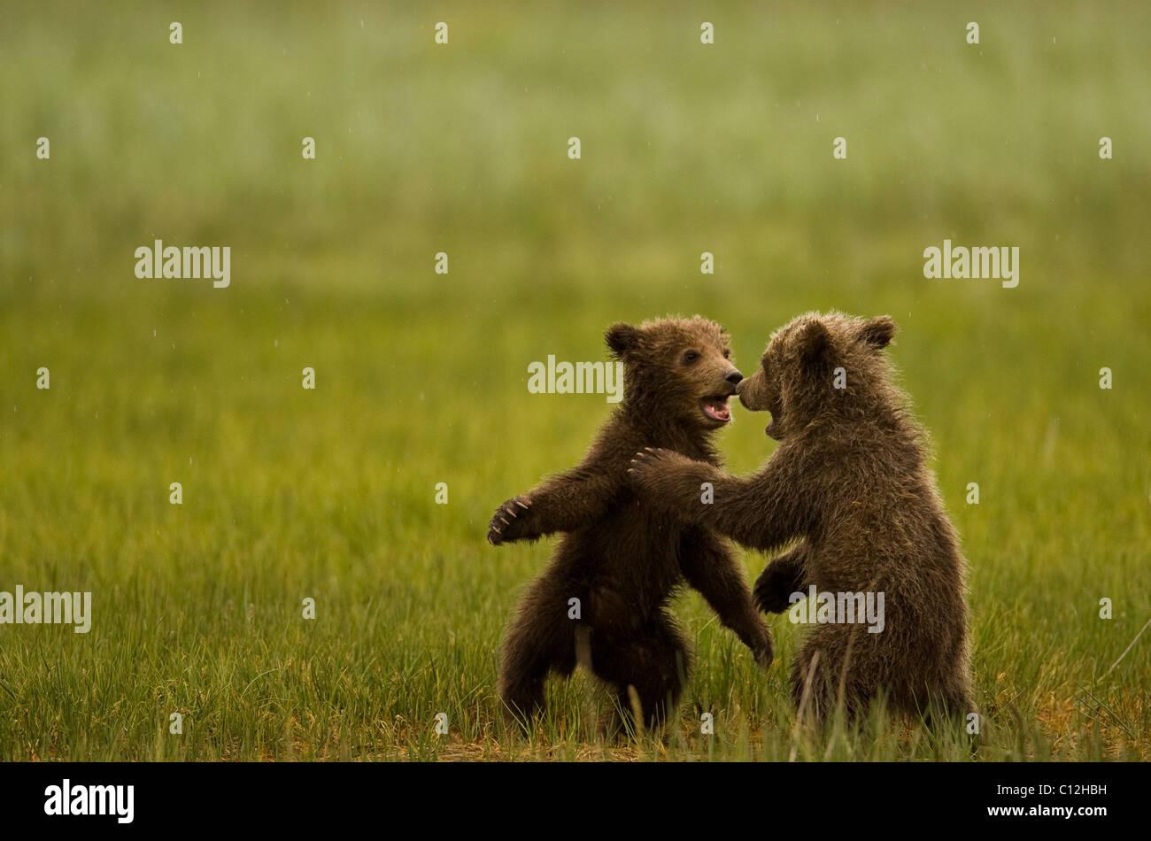 Les oursons grizzlis jouent dans une prairie. Photo Stock