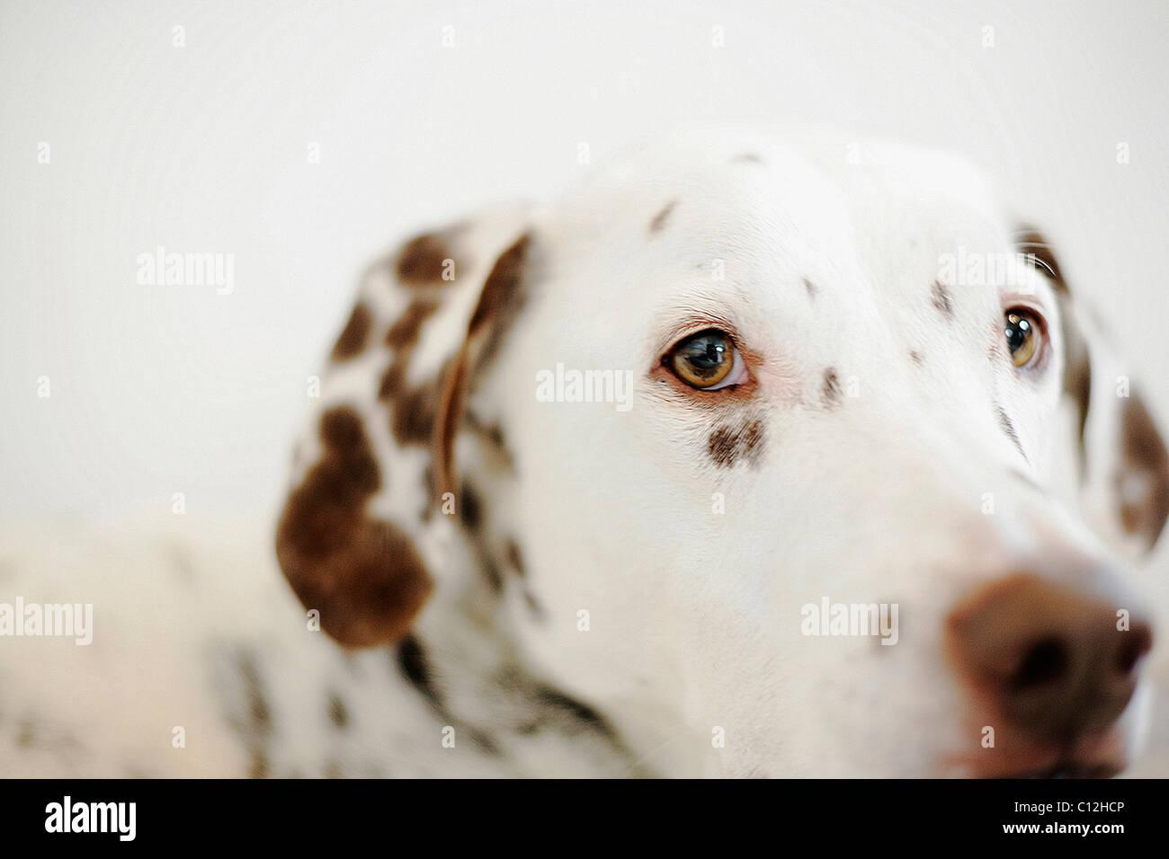 Un foie dalmatien tachetés se penche sur l'objectif de l'appareil. Photo Stock