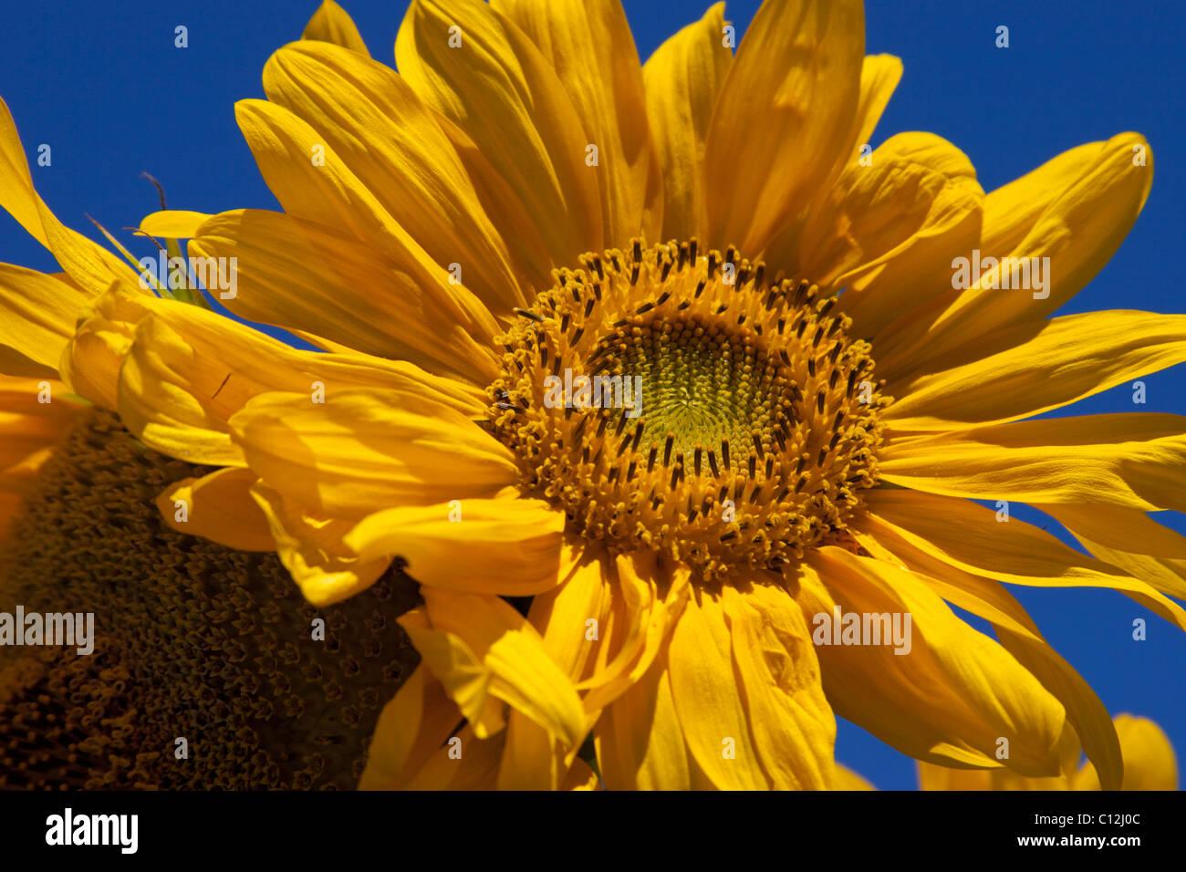 Jaune tournesol couleur coloré lumineux spectaculaire Photo Stock